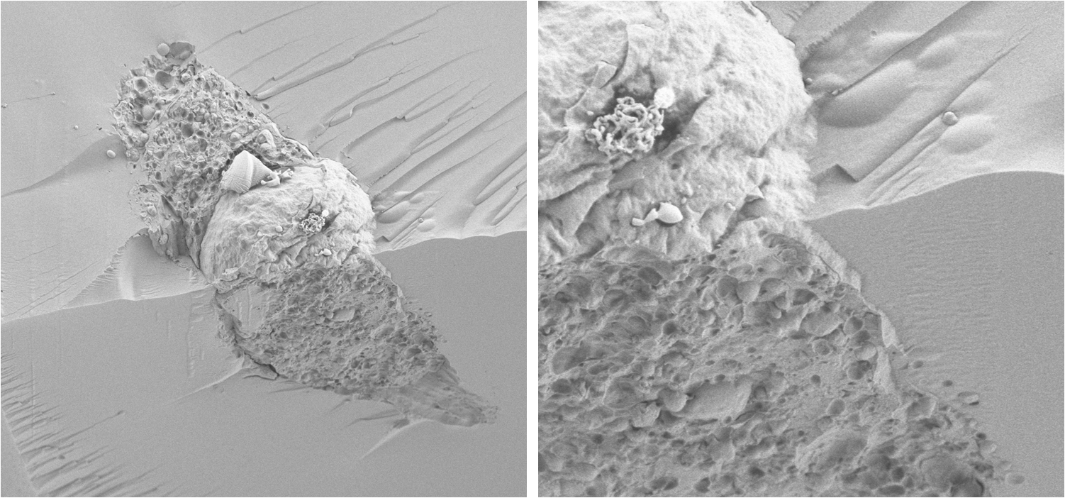 Cryo-SEM image of a mesenchymal cell encapsulated in a PEG-fibrinogen hydrogel after several days in 3-D culture